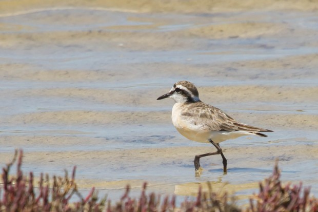 15 Plover, Kittlitz's 1 Jan 2014 WCNP