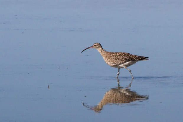 6 Whimbrel, Common 1 Jan 2014 WCNP
