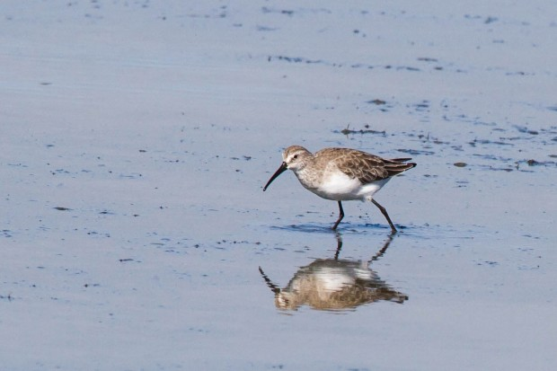 9 Sandpiper, Curlew 1 Jan 2014 WCNP
