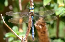 Blue Emperor dragonfly 2