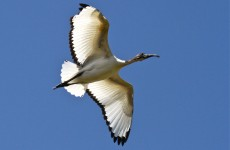 Ibis flying