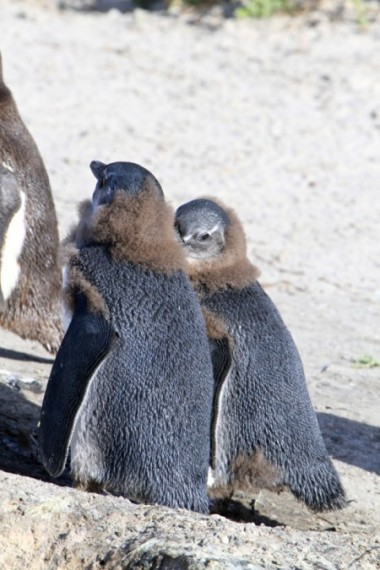Jackass Penguins juvies moulting Simon's Town Western Cape