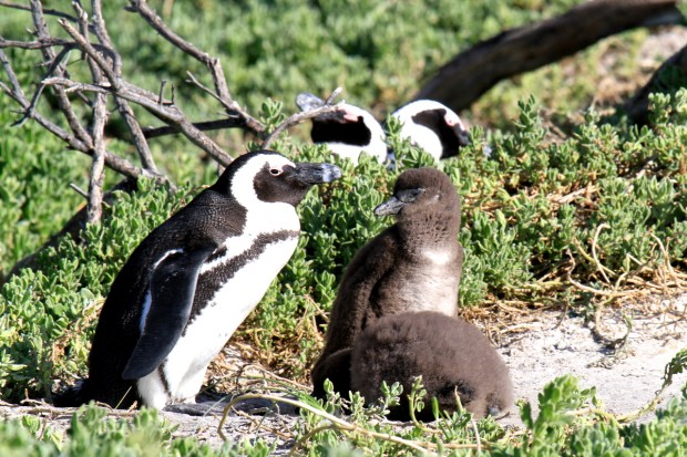 Jackass Penguins  with chicks in Simons Town Cape Town Holiday